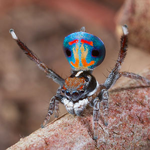 Araignée Paon